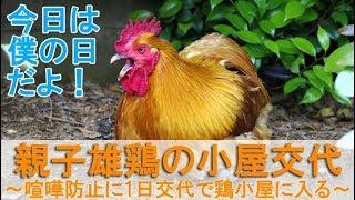 """2018年5月中旬のこと。 庭でボス役を務めるの雄鶏が""""ぴよ助""""の日です。 ..."""