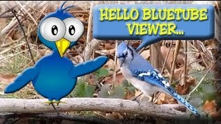 Blue Jay Bird Video