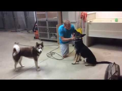 Leave It Command   Teaching it with GSD Maverick engaged in dog play