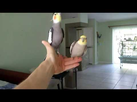 Cockatiel singing as I swing him back and forth haha