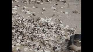 広島県三次市の実家に帰省した時、納屋にあるツバメの巣(5羽誕生)か...