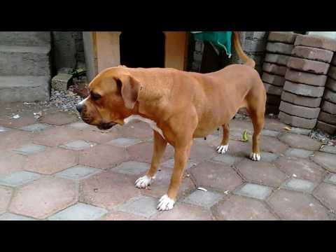 boxer and pitbull mix (Zyanya)