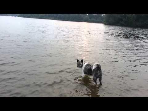 Japanese akita swimming