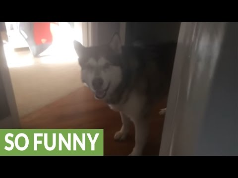Dog loves playing hide and seek!