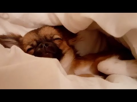 Chihuahua Puppy my life -The British Chihuahua Dogs Club - Puppies Long Hair  Breed Devon UK