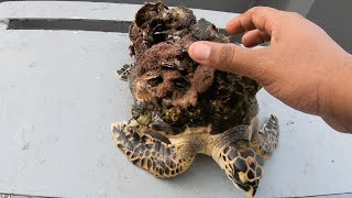 Rescue Poor baby Sea Turtle, Removing Barnacles And Mussels #yomadeek #YMDK