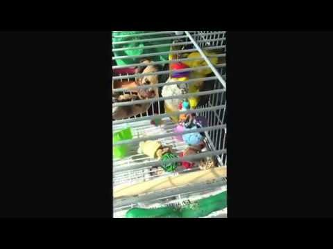 Meiko, the white bellied caique, plays with his new toy!!