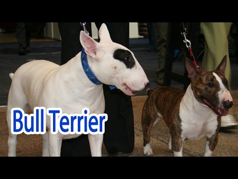 Bull Terrier Breed
