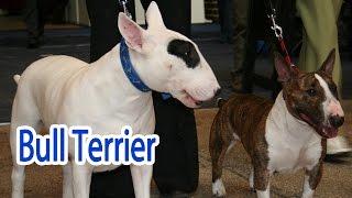 Bull Terrier Breed