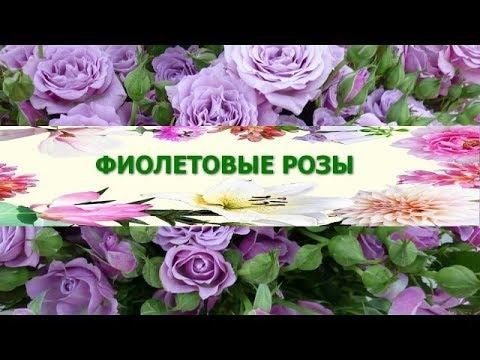 ЦВЕТЫ  Символ очарования Фиолетовые РОЗЫ