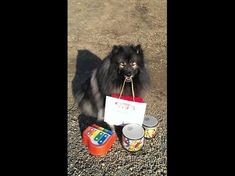 Clancy, the Keeshond, doing tricks at Maryland DogFest talent show 2014