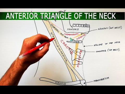 The Anterior Triangle