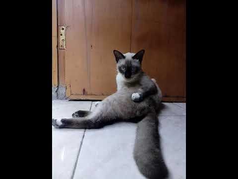 Cat birman