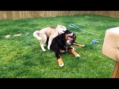 Bernese & Husky playing