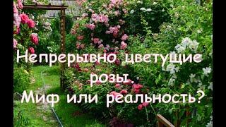 Непрерывно цветущие розы. Миф или реальность