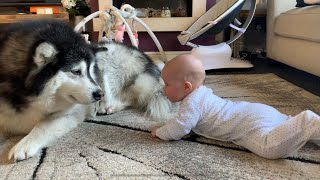 MALAMUTE PROTECTS BABY ROLLING OVER