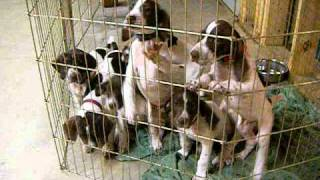 German Shorthaired Pointers - Whole Herd