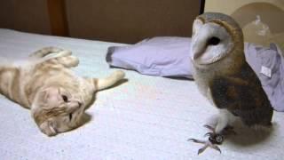 Кошка играет с совой