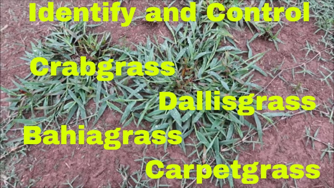 Weed Control And Identification Of Crabgrass Dallisgrass