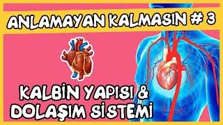 Anlamayan Kalmasın 3 Kalbin Yapısı ve Dolaşım Sistemi