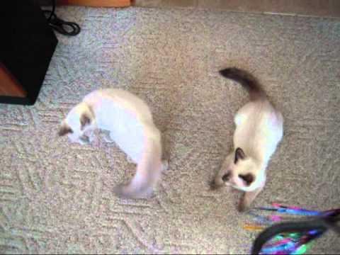 Ragdoll Siamese Mix? 4 months old! Crazyass Cats!