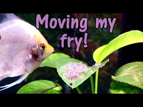 SO NERVOUS! Finally Moving My Angelfish Fry!