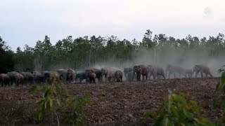 Human and elephant-conflict in Thailand