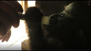 Sending Huro Home_Rehabilitating Hoolock Gibbons