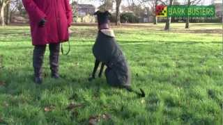 Bark Busters Dog Training Watford & St Albans With Larry The Lurcher