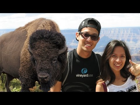 Bisons in Grand Canyon