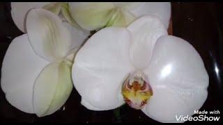 Новая Шикарная Орхидея | Grandiflora | Phal. Bijoux