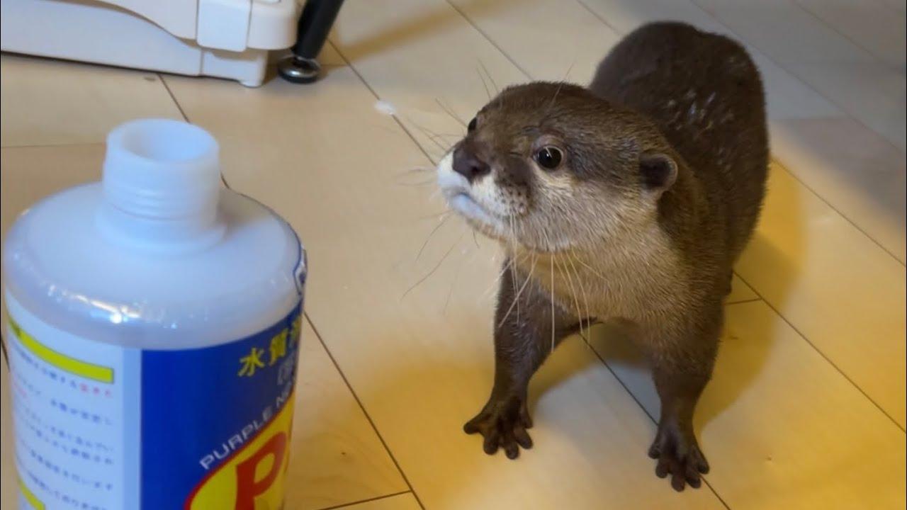 カワウソさくら 匂いの強い液体を嗅いだカワウソと猫の反応の違いが面白い Otter and cat sniffing