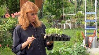 видео Календула: выращивание из семян, когда сажать.