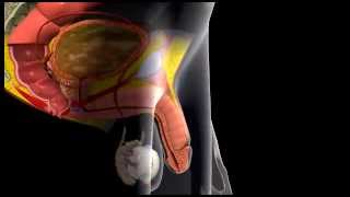 Repeat youtube video Erection and Ejaculation - 3D Medical Animation || ABP ©