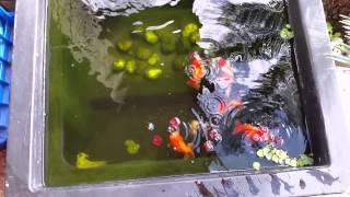 Ranchu Goldfish Pond