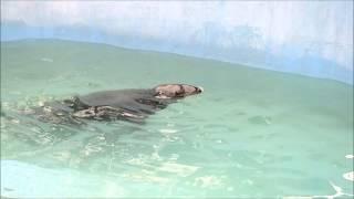 Тюлень.Каунасский зоопарк.