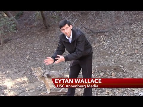 Coyote Problem In Los Angeles -- Eytan Wallace Reports
