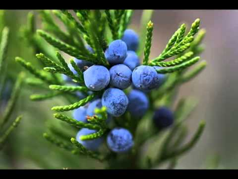 Juniper Berry Fruits Health Benefits