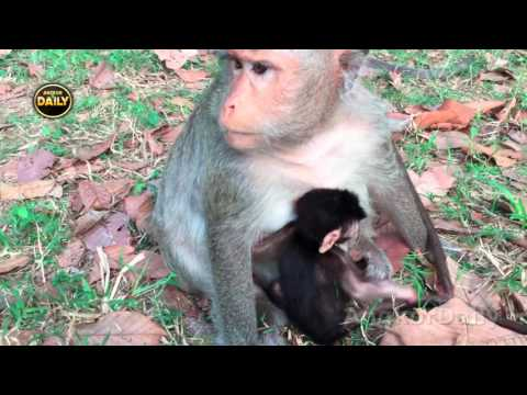 Thumbnail: The Mother Monkey Concerns. They feel hungry. [Angkor Daily 157