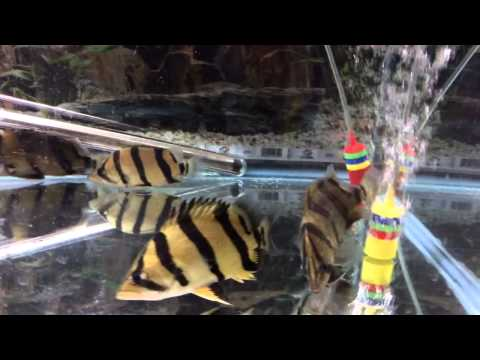 Tiger Datnoid For Sale (Siamese Tigerfish - Datnioides)