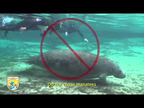 "Crystal River Refuge's ""Manatee Manners"" for Swimmers"