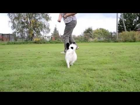 Papillon puppy boy leash training 4. month old.