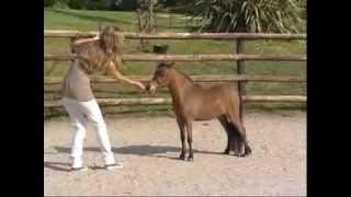 L'élevage  de chevaux miniatures américains: So Chic Miniature