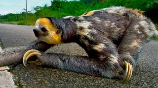 Ленивец переходит дорогу - Three toed sloth crosses the road