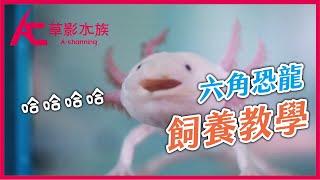 這不是魚!呆萌六角恐龍最強介紹(品種多多&高畫質影片)|AC草影水族