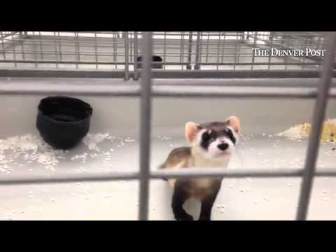 Endangered Black footed ferrets seen here federal government