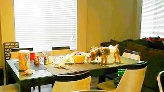 Bad Dog Eating on Dining Room Table