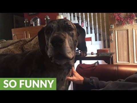 Angry Great Dane is furious with change of dinner plans