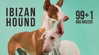 Ibizan Hound / 99+1 Dog Breeds