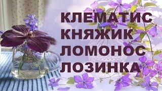 КЛЕМАТИС – КНЯЖИК - ЛОМОНОС - ЛОЗИНКА – научное и народные названия клематисов - channel Clematis TV
